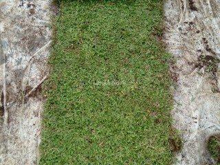 Malaysian carpet Grass