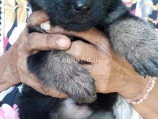 King lion German Shepherd Puppies